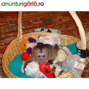 Imagine anunţ dragute capuchin şi maimuţe marmoset de vânzare