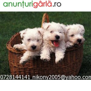 Imagine anunţ vand pui West Highland White Terrier