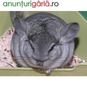 Imagine anunţ vand chinchilla