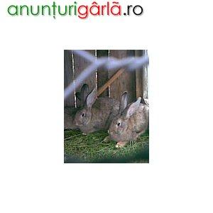 Imagine anunţ Vand Iepuri pentru carne rasa-BERBEC AMERICAN