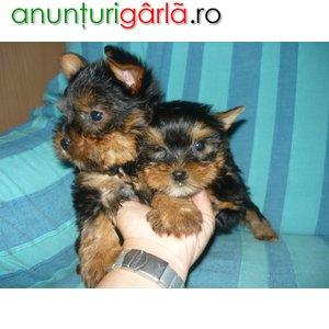 Imagine anunţ pui yorkshire terrier mini
