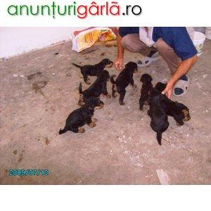 Imagine anunţ Vand pui Airedale Terrier