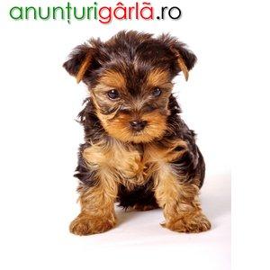 Imagine anunţ doresc caine Yorkshire Terrier