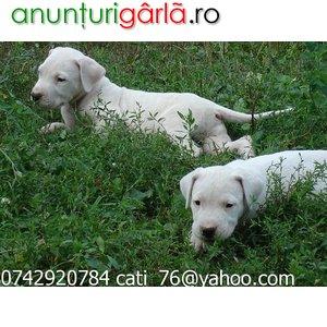 Imagine anunţ Dog Argentinian