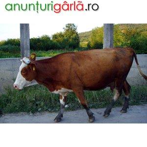 Imagine anunţ Vand vaci pentru carne jud.Timis