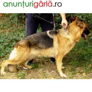 Imagine anunţ Vind femela ciobanesc german, 2 ani, foarte, foarte frumoasa