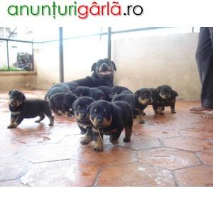 Imagine anunţ rottweiler de vanzare