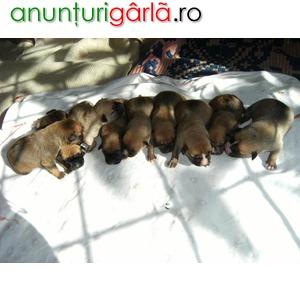 Imagine anunţ Vand pui din rasa american staffordshire terrier