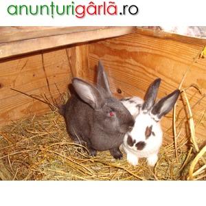 Imagine anunţ vand iepuri