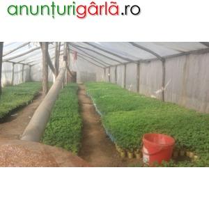 Imagine anunţ Vand rasaduri legume 25 martie 2011