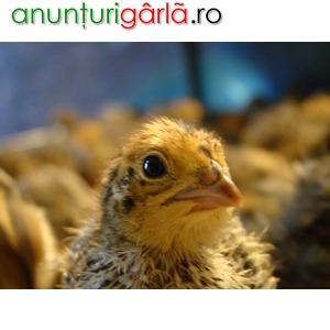 Imagine anunţ Prepelite de vanzare si oua