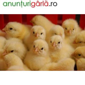 Imagine anunţ Vindem pui de o zi rasa grea si rasa mixta (rosi, porumbaci)