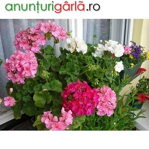 Imagine anunţ petunii curgatoare, muscate curgatoare, muscate zonale, flori pentru gradina