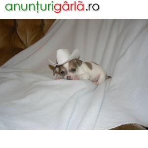 Imagine anunţ Chihuahua de vanzare .