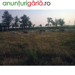 Imagine anunţ Vand 40 capre