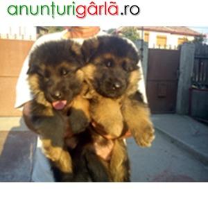 Imagine anunţ Canisa vom Quelleweg vinde pui ciobanesc german