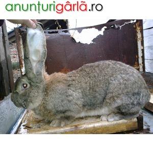 Imagine anunţ iepuri urias german gri
