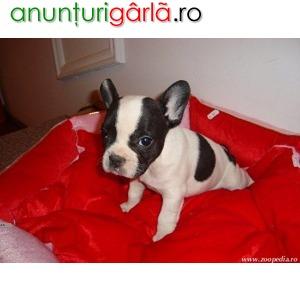 Imagine anunţ Bulldog Francez