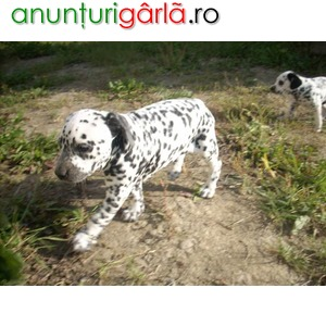 Imagine anunţ DALMATIAN