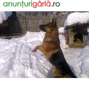 Imagine anunţ instructor dresaj canin