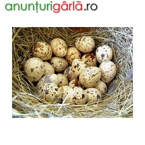 Imagine anunţ Vand oua de prepelita bio!