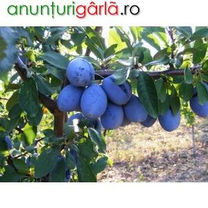Imagine anunţ Producator pomi fructiferi altoiti: prun, mar, piersic, cais, calitate si seriozitate