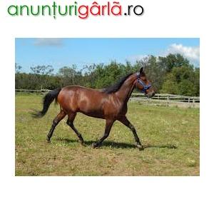 Imagine anunţ cal minunat soare pentru adoptare