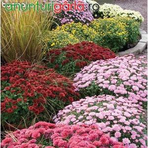 Imagine anunţ Vand Crizanteme butasi 20+10 gratis