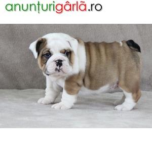 Imagine anunţ Vand Caini Bulldog Englez Bucuresti Brasov Iasi Constanta Galati Cluj Timisoara Craiova Satu Mare Oradea