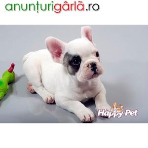 Imagine anunţ Vand Caini Bulldog Francez Bucuresti Brasov Iasi Constanta Galati Cluj Timisoara Craiova Satu Mare Oradea