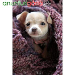 Imagine anunţ Vand Caini Chihuahua B BV IS CT GL CJ TM CV SM