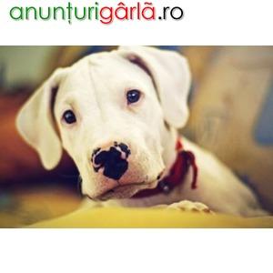 Imagine anunţ Vand Caini Dog Argentinian B BV IS CT GL CJ TM CV SM