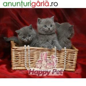 Imagine anunţ Vand Pisici British Shorthair Bucuresti Brasov Iasi Constanta Galati Cluj Timisoara Craiova Satu Mare Oradea