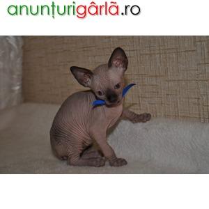 Imagine anunţ Vand Pisici Sphynx B BV IS CT GL CJ TM CV SM