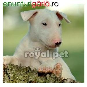 Imagine anunţ Vand caini bull terrier bucuresti iasi oradea