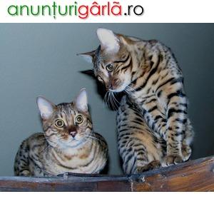 Imagine anunţ Vand pisici bengaleze bucuresti brasov iasi oradea constanta galati timisoara