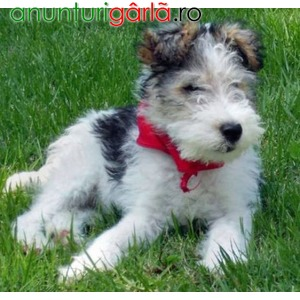 Imagine anunţ Vand Caini Fox Terrier B BV CT IS GL CJ TM SM CV