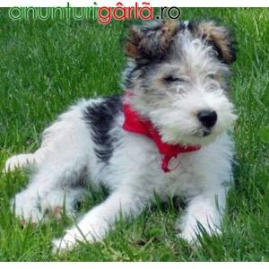Imagine anunţ Vand Caini Fox Terrier B BV CT IS GL CJ TM SM CV
