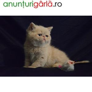 Imagine anunţ Vand Pisici Exotic Shorthair Bucuresti Constanta Iasi Craiova Brasov Timisoara