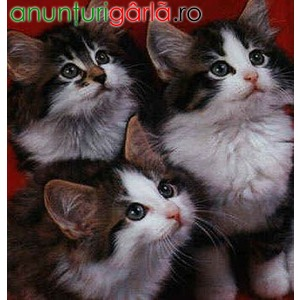Imagine anunţ Vand Pisici Norvegiana de Padure B BV IS CT CJ GL SM CV TM