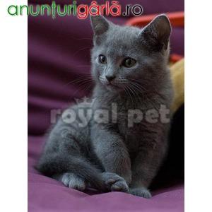 Imagine anunţ Vand pisici chartreux bucuresti iasi oradea brasov
