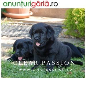 Imagine anunţ Cateluse labrador retriever negre de vanzare