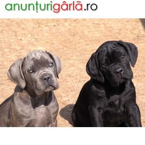 Imagine anunţ Vand caini cane corso bucuresti iasi oradea cluj