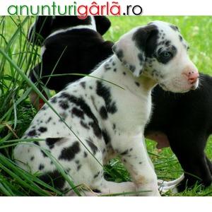 Imagine anunţ Vand caini dog german bucuresti iasi oradea cluj brasov