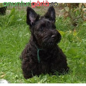 Imagine anunţ Vand caini scottish terrier B BV IS CT GL CJ TM CV SM