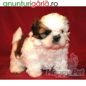 Imagine anunţ Vand caini shih tzu B BV IS CT GL CJ TM CV SM