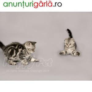 Imagine anunţ Vand pisici Scottish Fold B BV IS CT CJ TM SM CV GL