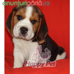 Imagine anunţ Vand caini beagle B BV IS CT GL CJ TM CV SM