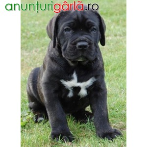 Imagine anunţ Vand cane corso B BV IS CT GL CJ TM CV SM
