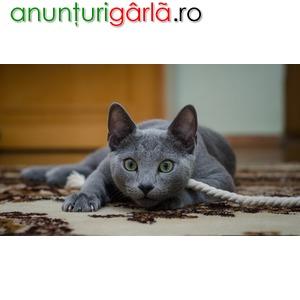 Imagine anunţ Vand pisici albastru rusia B BV IS CT GL CJ TM CV SM